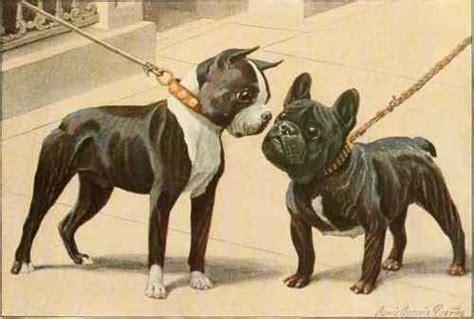 boston bull terrier puppies boston terrier