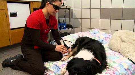 cold laser therapy for dogs cold laser therapy speeds healing for dogs and cats