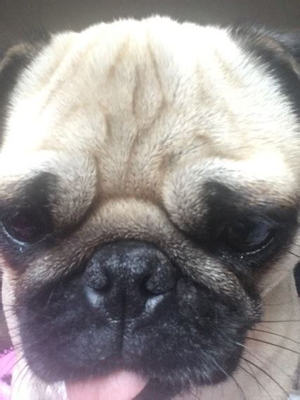 pug wanted pug wanted for my oldbury west midlands pets4homes