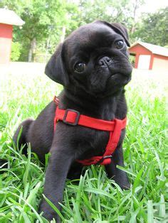 pug negro bebe pug 180 s on pugs black pug and pug puppies