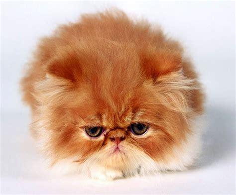 fluffy breeds fluffy cat breeds www pixshark images galleries with a bite