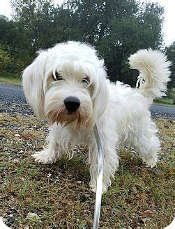 havanese puppies colorado springs 1000 images about look at this on adoption shetland sheepdog and