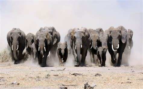 how to your to herd elephant herd quotes quotesgram