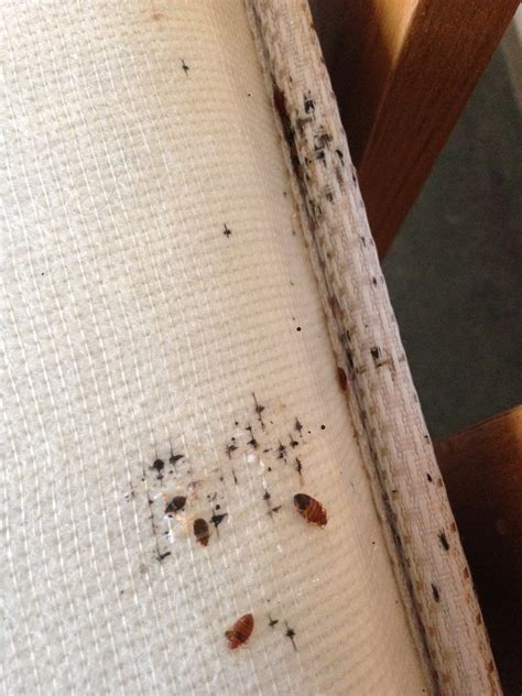 bed bugs control bed bug control in essex st georges bed bug control essex