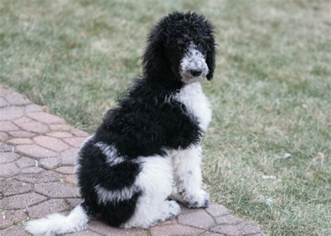 standard parti poodle puppies for sale ranch of minnesota quality labradoodles 612 386 8476
