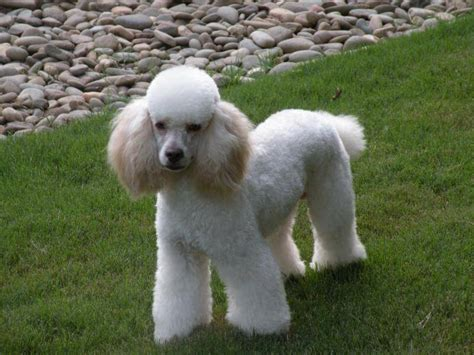 photoes of different types of poddles moyen poodle characteristics appearance and pictures
