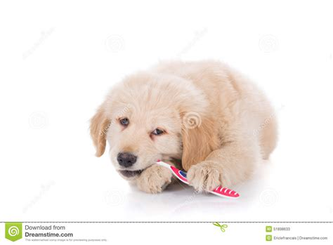 golden retriever puppy biting golden retriever puppy brushing his teeth front view stock