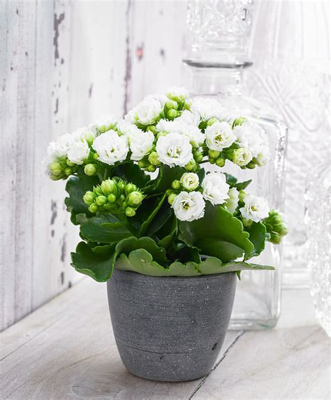 buy house plants white kalanchoe plant www pixshark com images