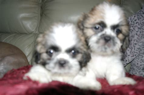 shih tzu puppies for sale in glasgow shih tzu puppies for sale shih tzu puppies for sale birmingham west midlands brown