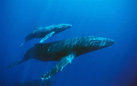 wallpaper blue whale blue whale wallpapers wallpaper cave