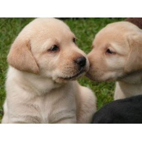 yellow lab puppies for sale ny golden lab puppies for sale rochester ny