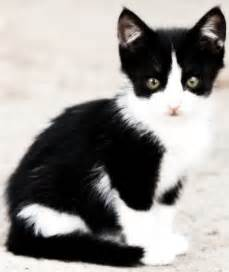 the tuxedo cat breed the black and white non breed