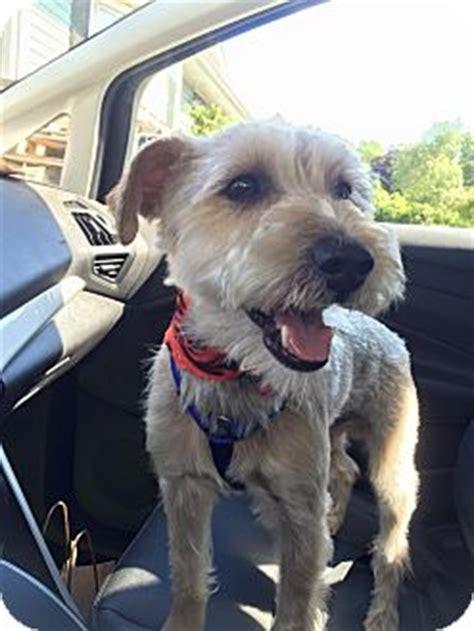 yorkie puppies for adoption in ct newtown ct schnauzer miniature yorkie terrier mix meet banjo a