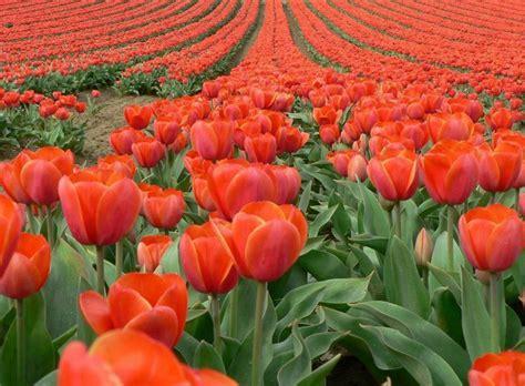 netherlands tulip fields tulip fields amsterdam netherlands tulips pinterest