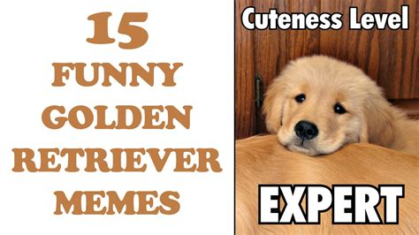 golden retriever meme golden retriever memes www imgkid the image kid has it