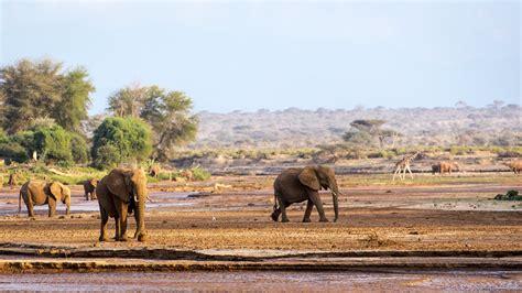 In Kenya saving the elephants in samburu kenya guides