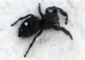 Spider Used Daring Jumping Spider Used Chacha Again My Desultory
