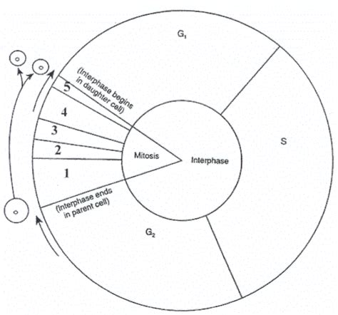the cell cycle coloring worksheet cell cycle diagram worksheet bio 111 inquiry active