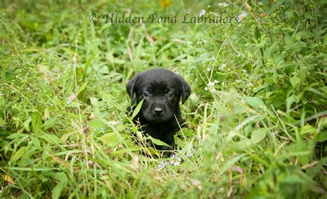 black lab puppies for sale in md labrador retriever chocolate lab puppies hairstylegalleries