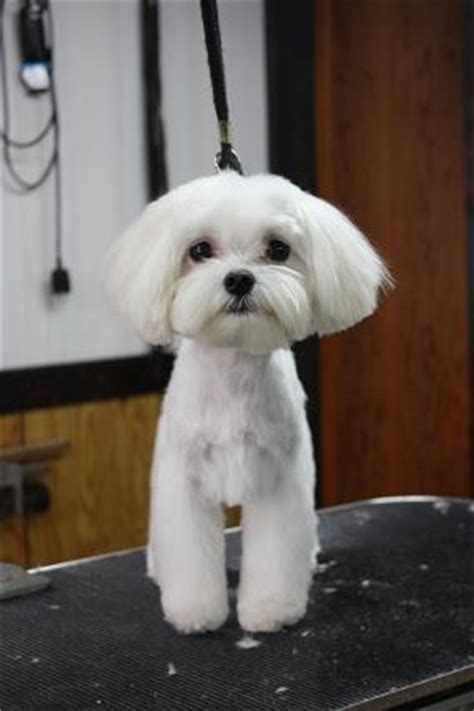 maltese grooming styles with long and short hair マルチーズ トリミングカット集
