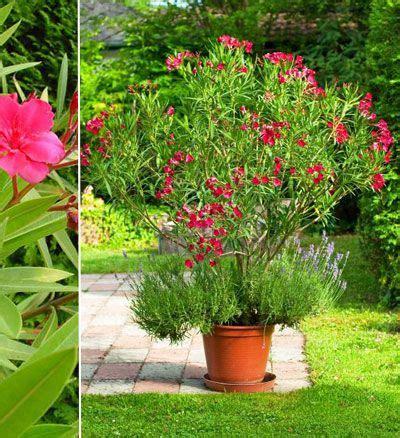 Arrosage Lauriers Roses by Les 25 Meilleures Id 233 Es Concernant Laurier Sur