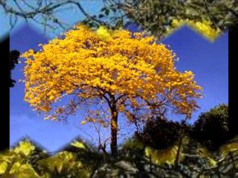 imagenes simbolos naturales de venezuela araguaney canta s 233 rbulo ch 225 vez youtube