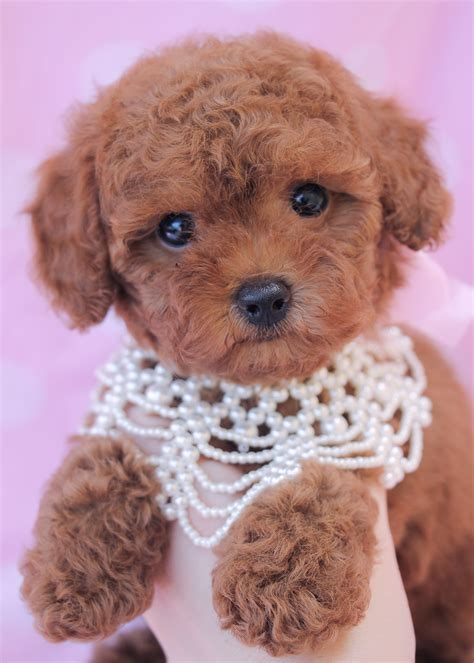 poodle puppies for sale florida poodle puppies for sale at teacups puppy boutique of florida teacups puppies