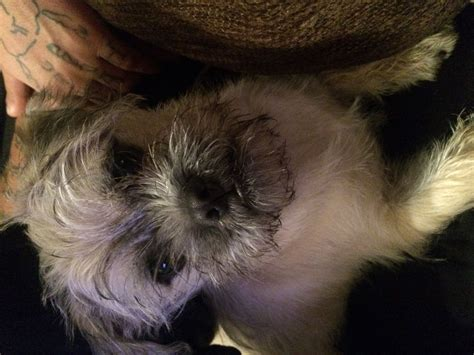 maltese pug the cutest maltese pug cross taking offers brierley