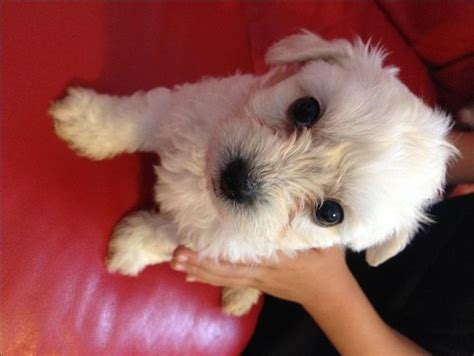 local breeders 1000 ideas about local puppies for sale on small dogs for sale dogs for