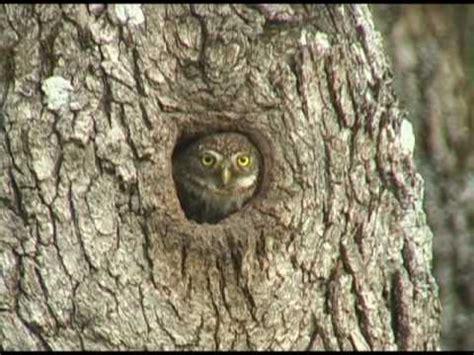 pygmy owl diet dwnews