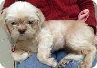 shih tzu rescue ny albany ny shih tzu maltese mix meet nugget a for adoption