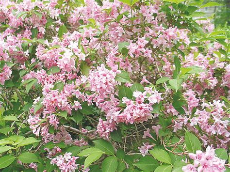 old fashioned spring flowering shrub weigela news