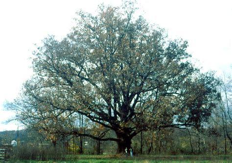trees maryland white oak quercus alba