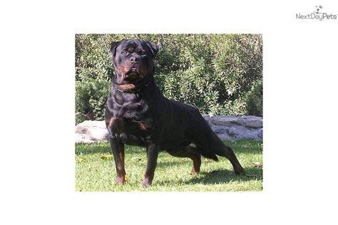 rottweiler inc puppies for sale from ruelmann rottweilers inc member since march 2008