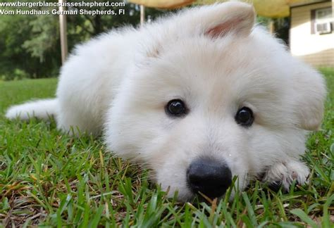 white german shepherd puppies for sale in florida sales