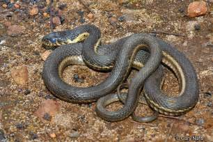 Garden Snake In Oregon Identifying California Gartersnakes