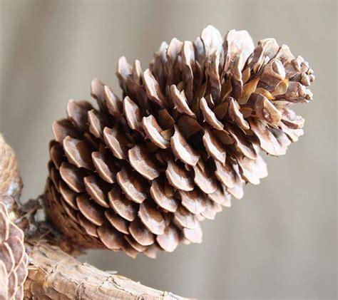 pinus montezumae tree montezuma pine ocote seeds