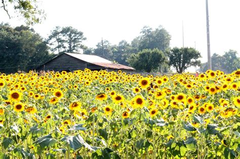 sunflower farm anderson sunflower farm home with the hoovers