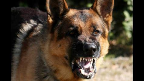angry dogs crazy angry dogs angry dog bark growl sound