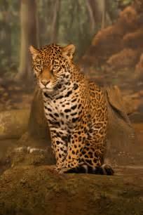 Jaguars Span Mvscience Jm Jaguar