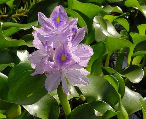 Bibit Eceng Gondok tanaman eceng gondok water hyacinth bibitbunga