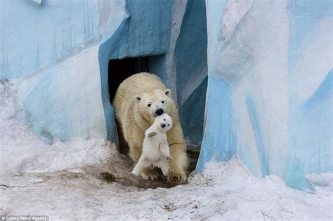 polar cub gets a cuddle from its as it makes its debut at russian zoo daily mail