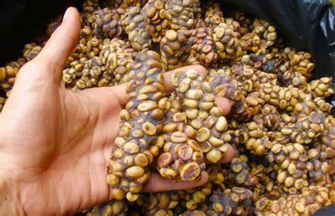 Kopi Di Coffee Toffee kopi luwak un dei caff 232 pi 249 costosi mondo
