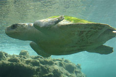 Turtle Sea sea turtle