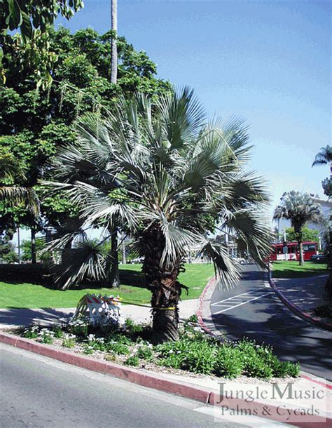 mexican fan palm care gallery2 gallery large palms brahea armata 004 gif