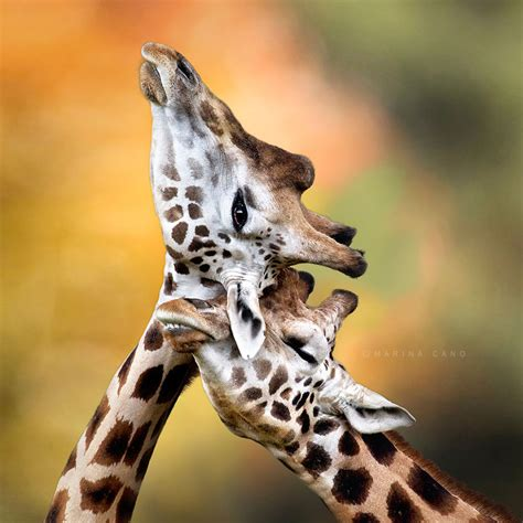 imagenes de jirafas romanticas 20 parejas animales que demuestran que el amor existe en