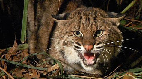 bobcat attacks bobcat vs python 01 bobcat attacks python