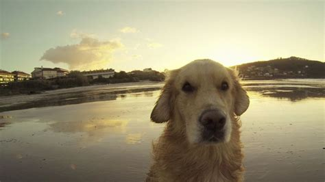golden retriever puppies st george utah 25 best ideas about golden retriever puppies on cachorros golden