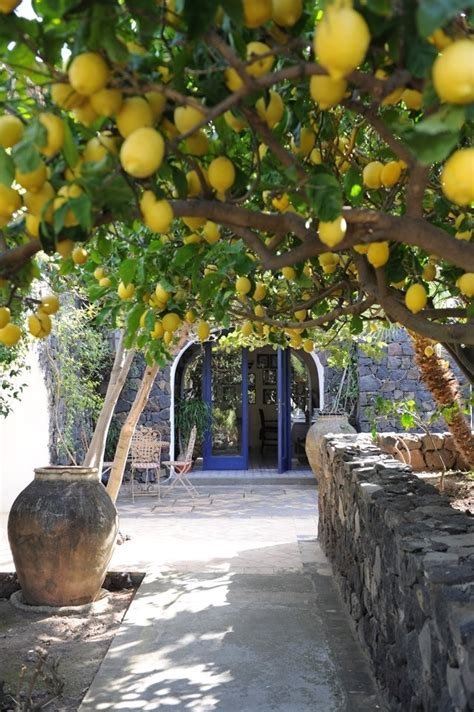backyard lemon tree lemon tree my secret garden pinterest