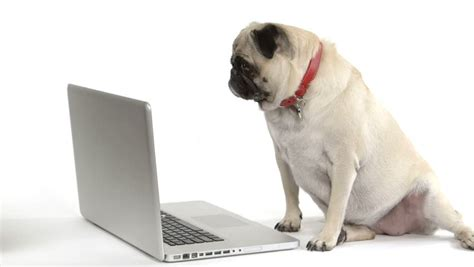 pug computer screen using laptop www pixshark images galleries with a bite